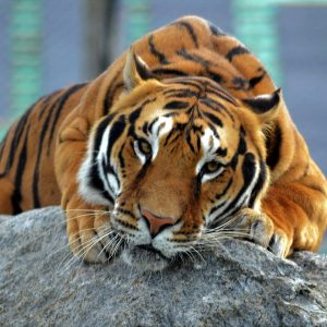 Tiger lying down at Wolds WIldlife Park